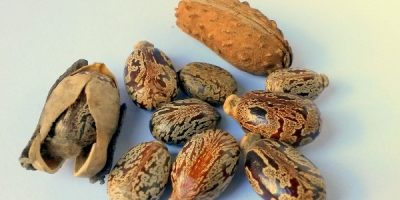 Castor Seeds used for oil